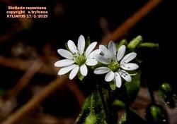 Stellaria cupaniana