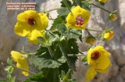 Verbascum levanticum