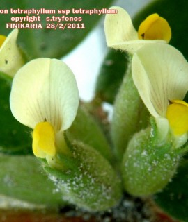 Tripodion tetraphyllum ssp tetraphyllum