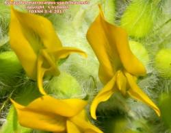 Astragalus macrocarpus ssp lefkarensis