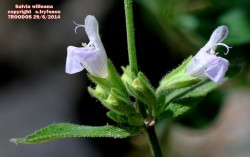 Salvia willeana