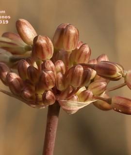 Allium exaltatum