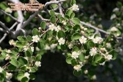 Cotoneaster nummularius