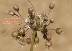 Allium marathasicum
