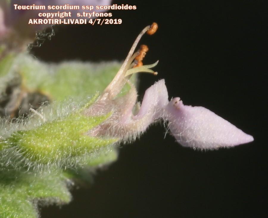 Teucrium scordium ssp scordioides