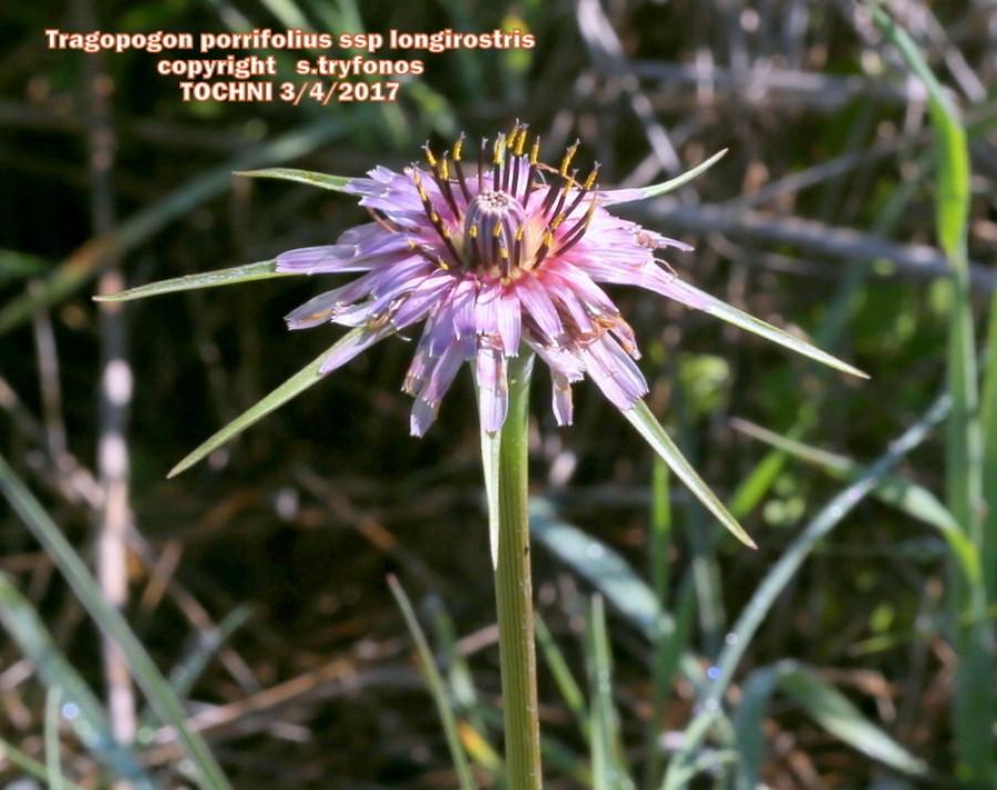 Tragopogon porrifolius ssp longirostris