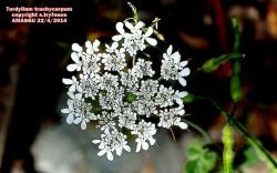 Tordylium trachycarpum