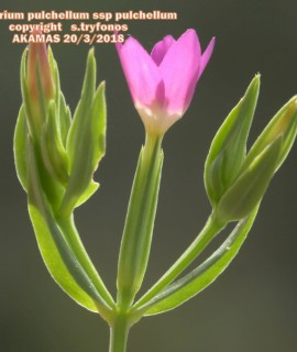 Centaurium pulchellumsubsp.pulchellum