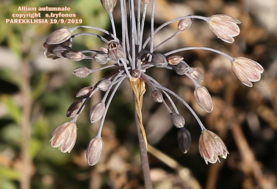 Allium autumnale