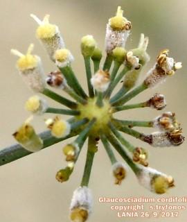 Glaucosciadium cordifolium