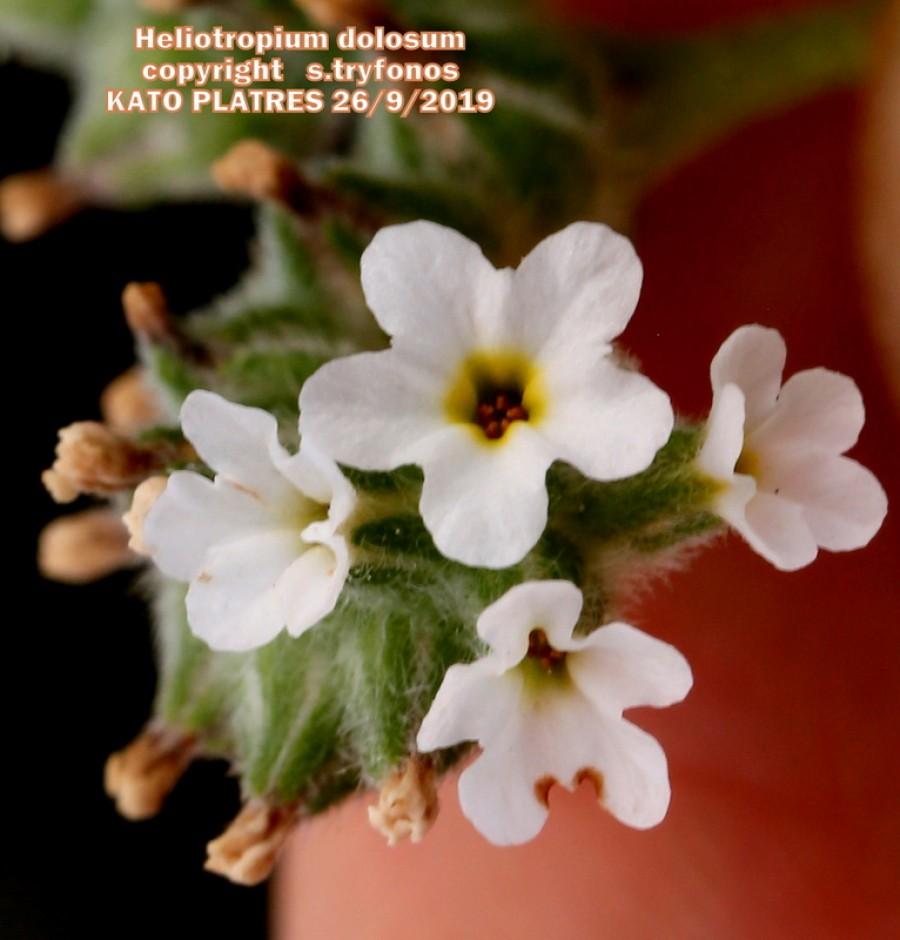 Heliotropium dolosum