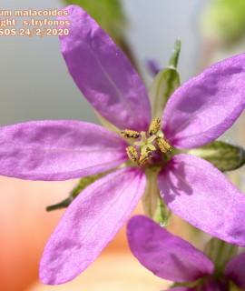 Erodium moscatum