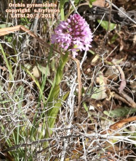 Orchis pyramydalis