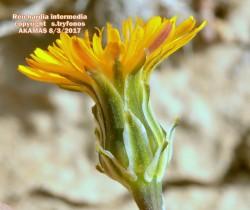 Reichardia intermedia