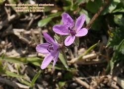 Erodium cicutarium subsp.cicutarium