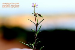 Spergularia bocconii