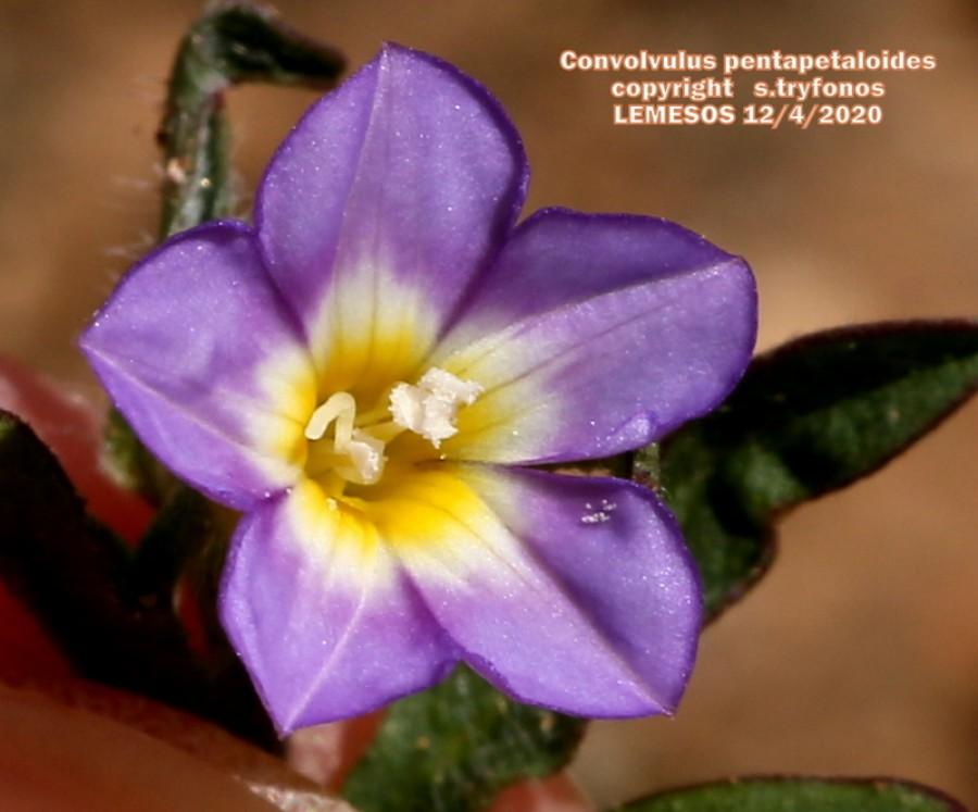 Convolvulus pentapetaloides
