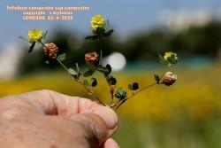 Trifolium campestre subsp.campestre