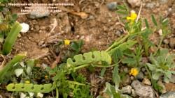 Hippocrepis unisiliquosa ssp unisiliquosa