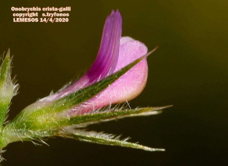Onobrychis crista-galli