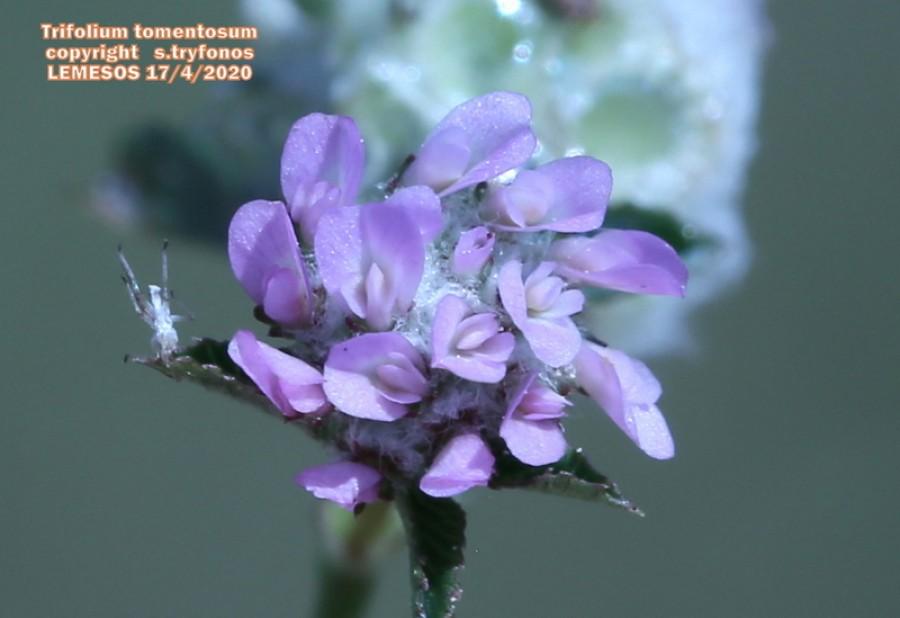 Trifolium tomentosum