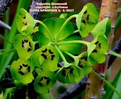 Euphorbia thomsonii
