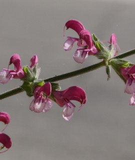 Salvia hierosolymitana