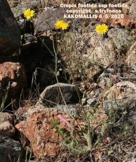 Crepis foetida ssp foetida