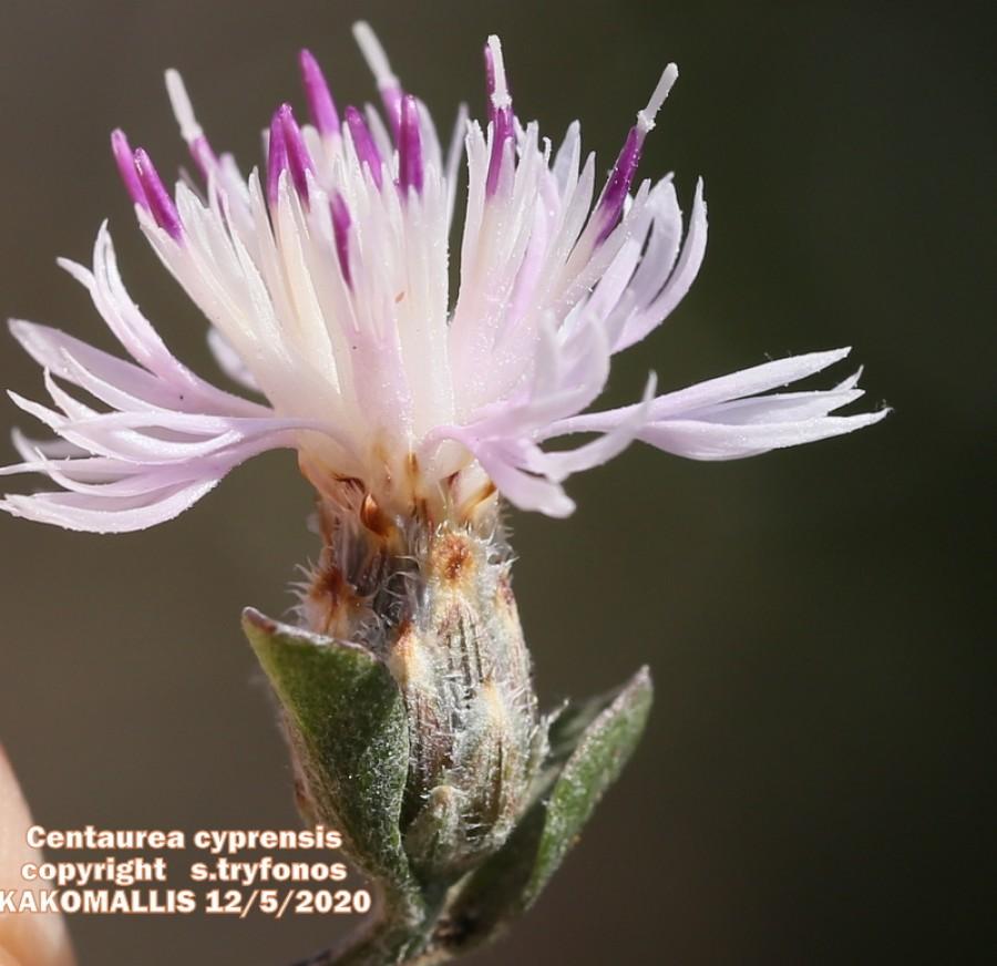 Centaurea cyprensis