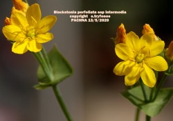 Blackstonia perfoliatasubsp.intermedia