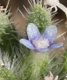Anchusa humilis