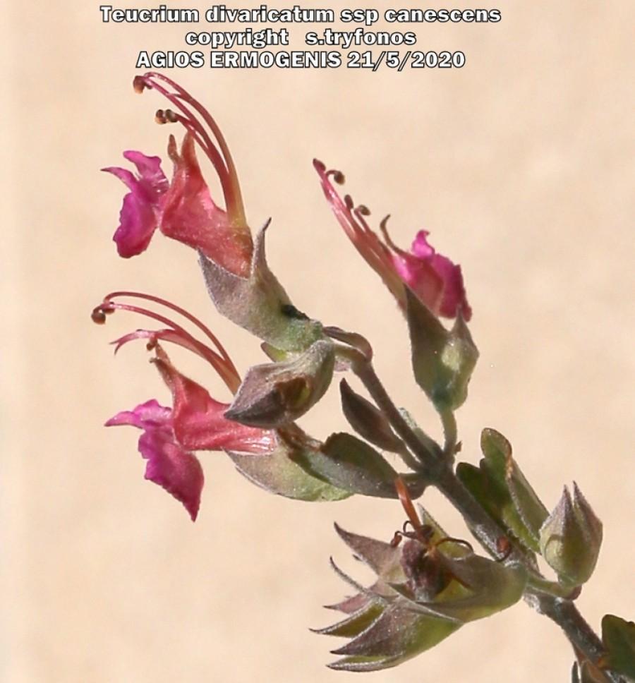 Teucrium divaricatum ssp canescens