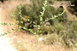 Klasea cerinthifolia