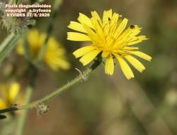 Picris rhagadioloides