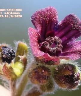 Cynoglossum natolicum