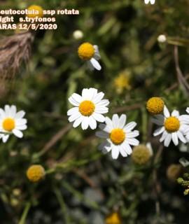 Anthemis pseudocotulasubsp.rotata