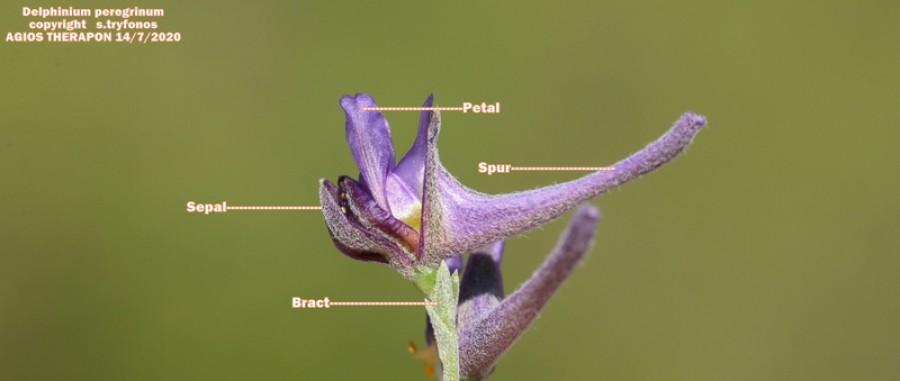 Delphinium peregrinum