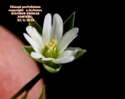 Stellaria cilicica