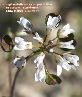 Microthlaspi natolicum ssp sporadium