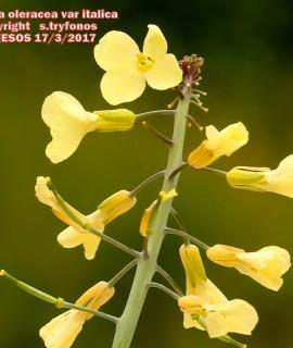 Brassica oleracea var italica