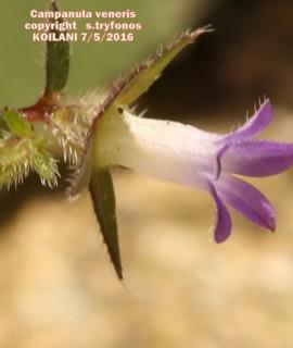 Campanula veneris