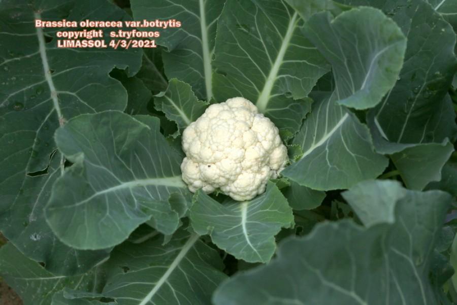 Brassica oleracea var.botrytis