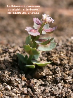 Aethionema carneum
