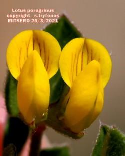 Lotus peregrinus