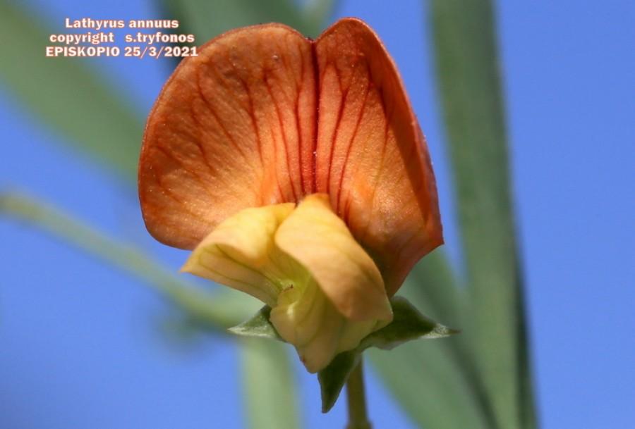 Lathyrus annuus