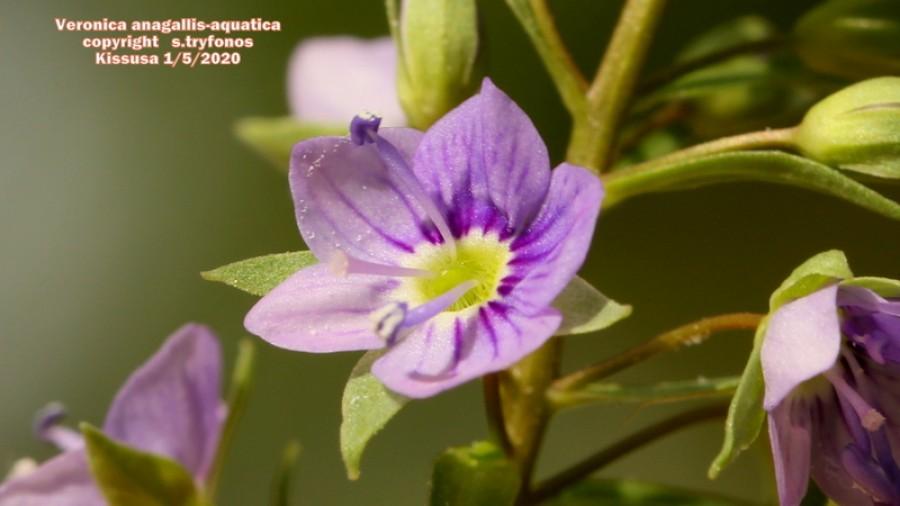 Veronica anagallis-aquatica