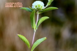 Lomelosia prolifera