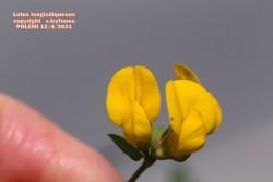 Lotus longisiliquosus