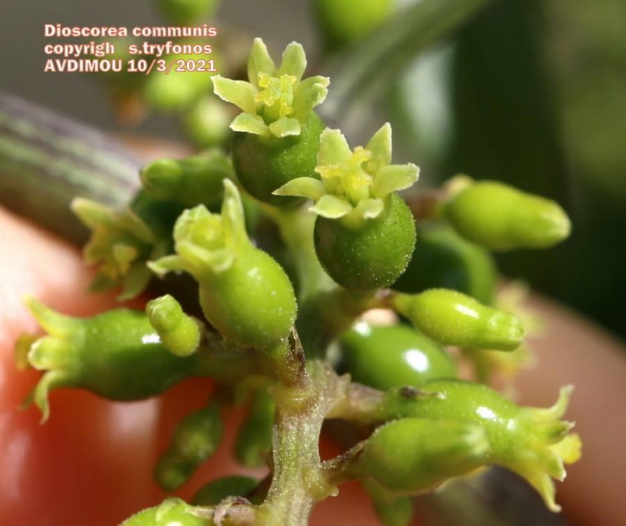 Dioscorea communis