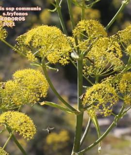 Ferula communis ssp communis.